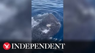 Fisherman has close encounter with massive whale shark