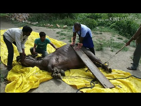 HOW VET CORRECTED TORSION OF UTERUS IN BUFFALO & COW AND SAVED LIFE & REMOVED CALF /TORSION  UTERUS