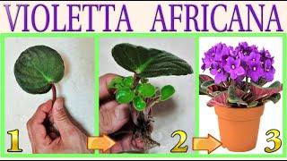 Como Obter Várias Mudas da Violeta Africana