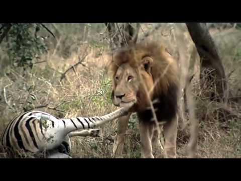 African animals - LION KING At AFRICA- animal wild!