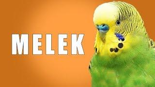 Muhabbet kuşu konuşturma egzersizi - Kuşunuz MELEK Desin