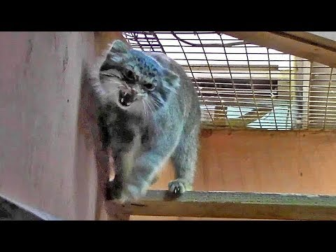 威嚇し合うマヌルネコ「ロータス&グルーシャ」 Hissing Pallas's cat