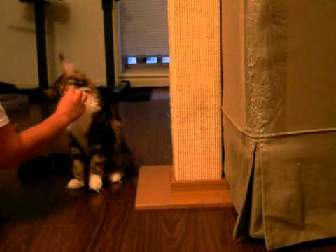 Maine Coon Cat Stormytown Tequila High 5 Cat Trick