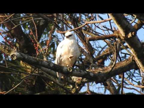 White Hawk (Pseudastur albicollis), Guatemala