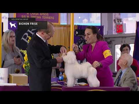 Bichon Frise  | Breed Judging 2019
