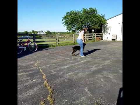 Super Awesome Doberman Puppy 'Rudy' 5 Mo's BAB Dog In Development