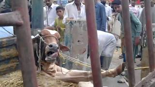 Dangerous Bull Unloading from Shehzore Injured Himself While Unloading | Eid ul Adha Bakra Eid Video