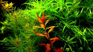 Proserpinaca Palustris - Aquatic Plants Guide