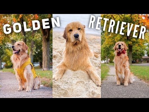 Daily Life With a Golden Retriever | Compilation 3