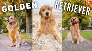 daily-life-with-a-golden-retriever-compilation-3