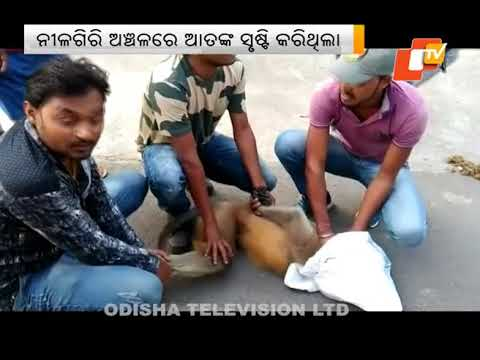 Rogue monkey caught in Nilagiri of Balasore