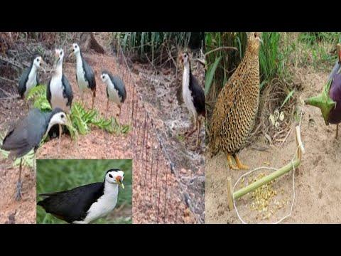 Download Trap bird with mp3 - part3| White breasted waterhen call 100 % effective (kurowakwak via Bluetooth)