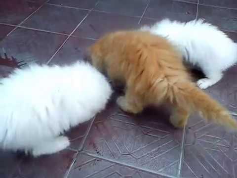 Anak Kucing Anggora Hasil Kawin Silang Funny Cats