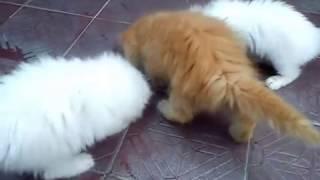 Anak Kucing Keturunan Persilangan Anggora Dan Persia