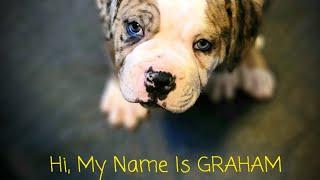 Our new addition: 'Graham'  (Alapaha Blue Blood Bulldog)