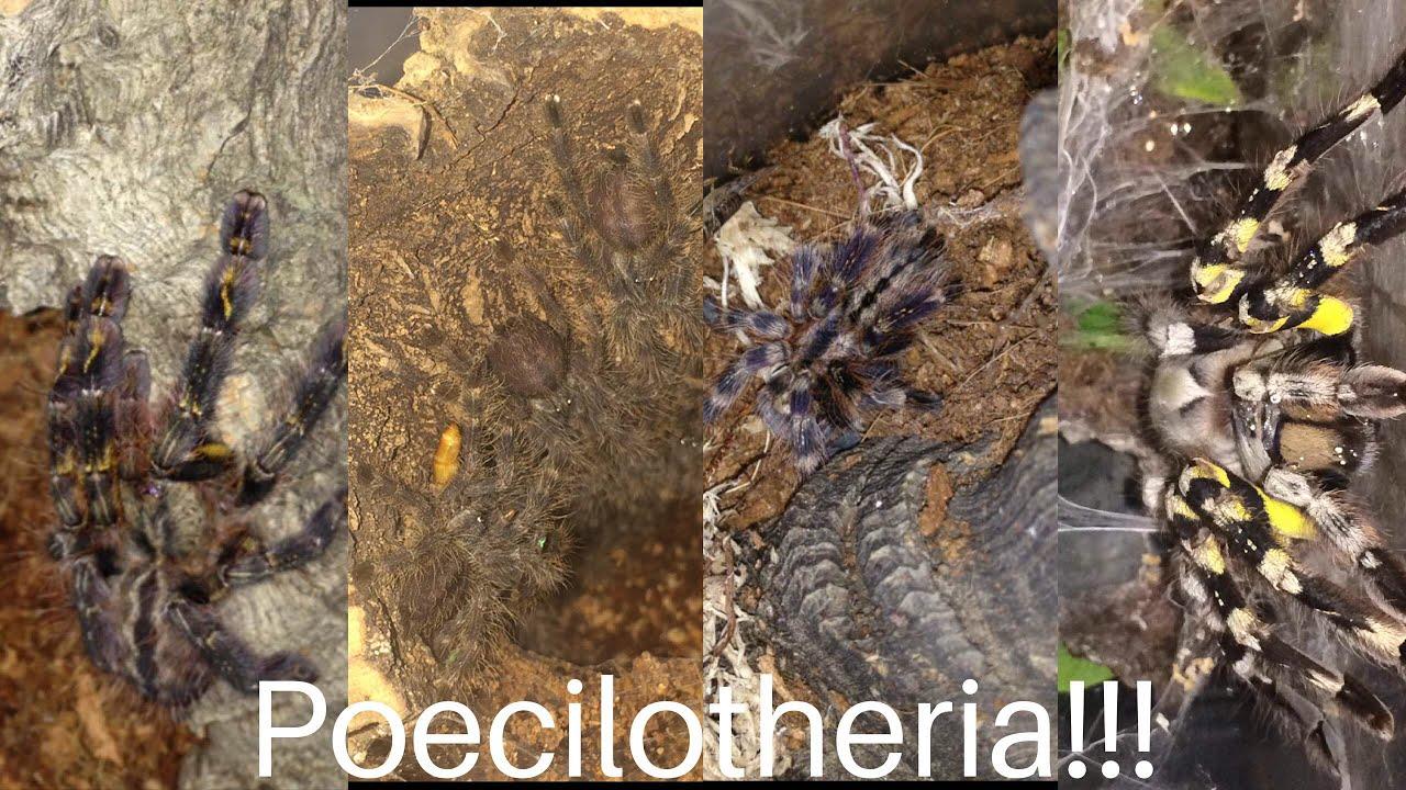 poecilotheria regalis ornata subfusca and metallica