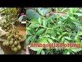 Ambarella tree growing in the Pot