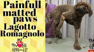 Painful matted paws Lagotto Romagnolo