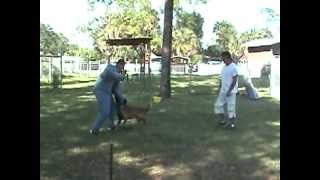 Florida Dog Academy - Malinois Protection Training (rocco)