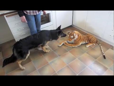 Tough German Shepherd Dog Barks at Tiger Doll