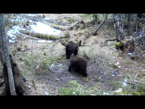 В Бурятии фотоловушка запечатлела трех медвежат