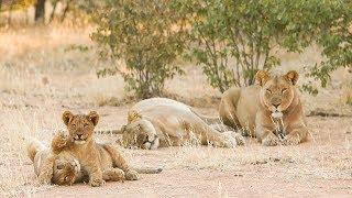 Celebrating World Lion Day at AfriCat North in Namibia   The Lion Whisperer