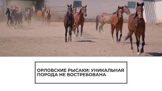 Орловский рысак — не востребованная порода лошадей