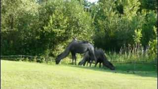 Zoo Opole - Wielbłądy dwugarbne (Bactrian camels)