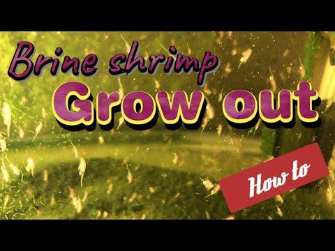 Growing Adult Brine Shrimp