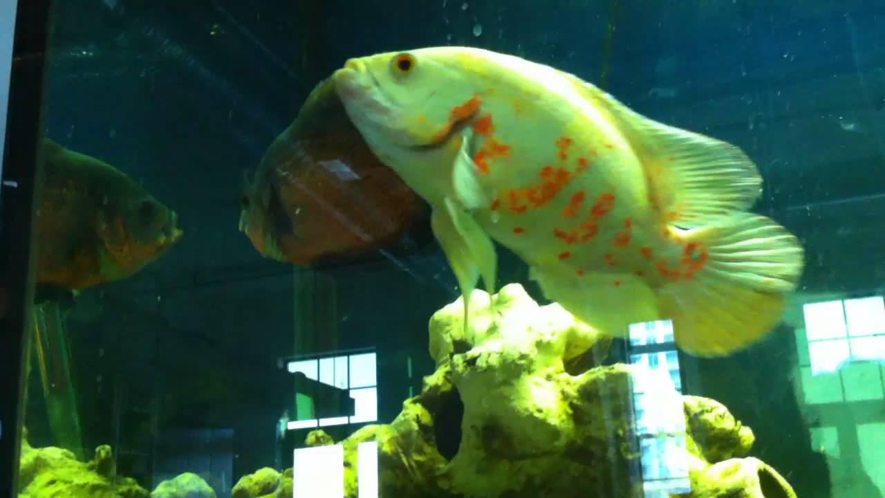 Freshwater aquarium fish that eat snails - Oscars Flowerhorn Eating Snails