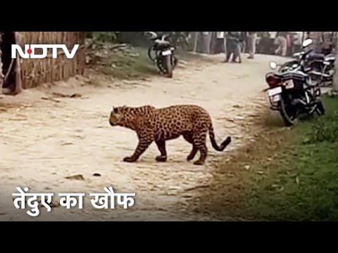 UP: Bahraich में आदमखोर तेंदुए का आतंक, Drone से हो रही तलाश