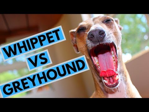 Whippet vs Greyhound - Choosing a Puppy