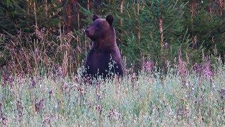Охота 239 наблюдаем за медведями на поле