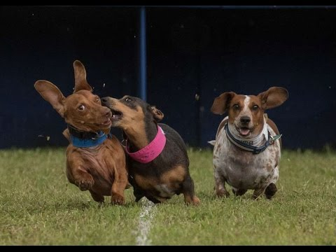 weenie dog races