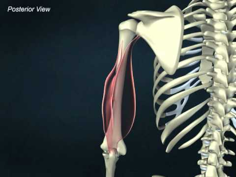 Triceps brachii - YouTube
