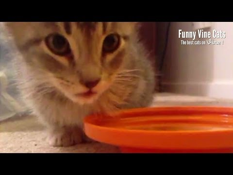 Adorable kitten doesn't know how to drink water! Aww! – Funny Vine Cats #10