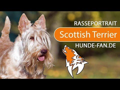Scottish Terrier [2019] Rasse, Aussehen & Charakter