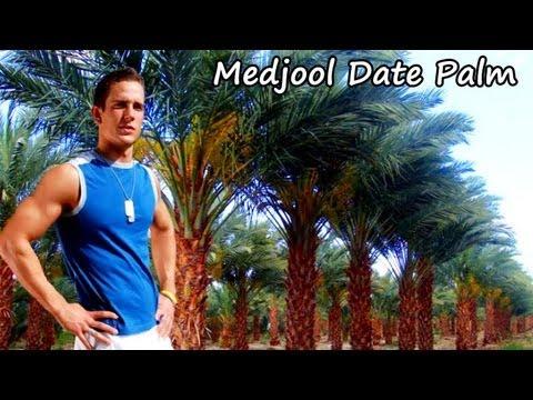 *Medjool Palm Tree* +Edible Dates+Plant @ GA, Texas & Florida+