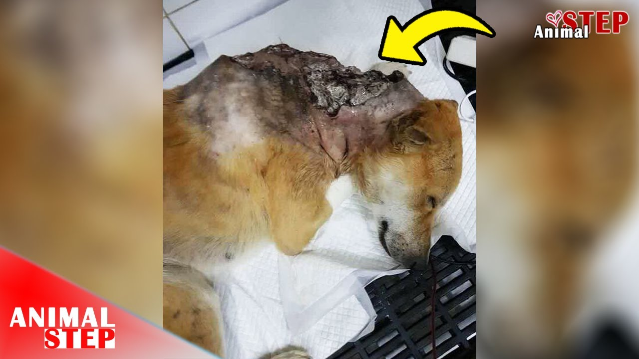 Download Street Dog Suffered from Life-threatening Wounds and Thousands of Maggots Eaten Alive
