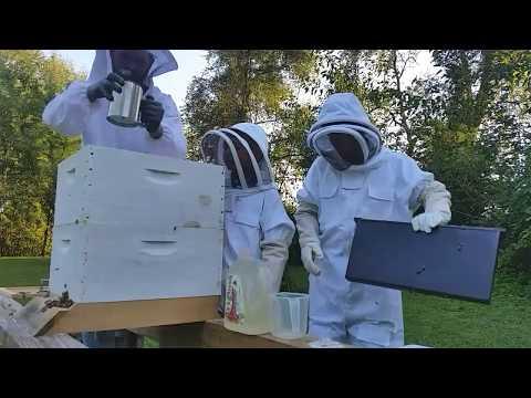 Powdered sugar dusting to detect varoa mites on bees