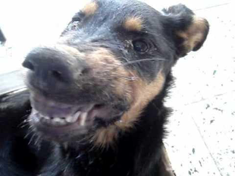 Canine distemper o Distemper canino..wmv - YouTube