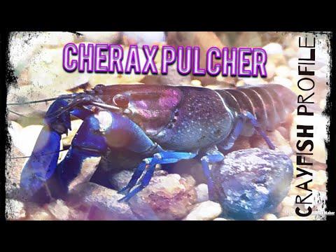 Cherax Pulcher | Crayfish Profile (Thunderbolt Crayfish, Pink Coral Crayfish, Rosemoon Crayfish)