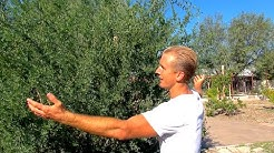 Top 10 Edible Plants, Cactus, and Trees for the Arizona Desert!