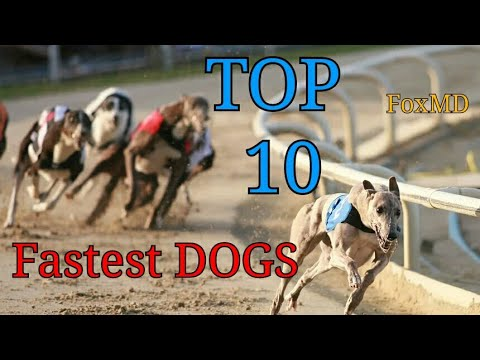 Top 10 Fastest Dog Breeds