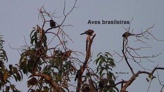 Sinfonia das aves brasileiras