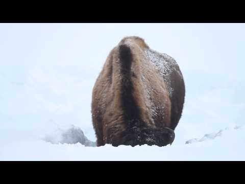 Bison plowing snow to eat grass in Yellowstone National Park