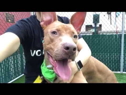 GATOR A1108535 1 y/o neutered pharaoh hound OS