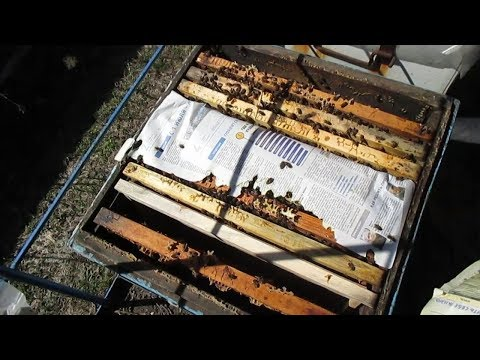 Как объединить пчелиные семьи летом видео