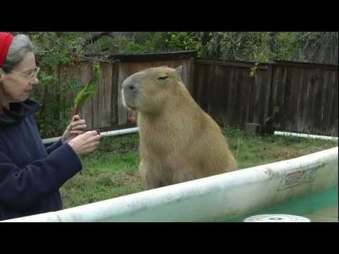 Cutest Capybara Being Adorable in the Pool かわいいカピバラは、プールで遊ぶ