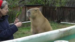 Cutest Capybara So Adorable in Pool